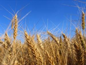 Wheat E 300×225