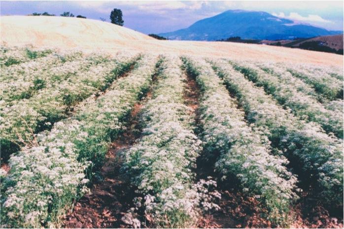 fioritura di un campo di anice verde a Castignano