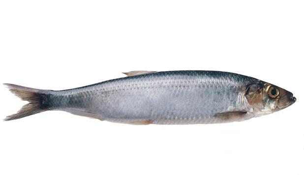Pesce Crudo E Rischio Anisakis